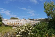 An old wooden vessel behind a rock roses bush Royalty Free Stock Images