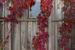 old wooden wall entwined with wild grapes with red  leaves Stock Images