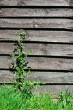 Old wooden wall with plant Stock Images