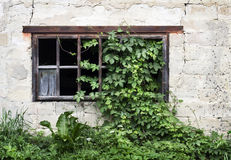 Old wooden window with green ivy Stock Photography