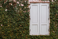 Old wooden window with green plant growing Royalty Free Stock Photography