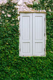 Old wooden window with green plant growing Stock Photo