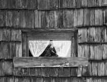 Old wooden window with lace curtains. Windows an wall texture background. Image in black and white Stock Photography