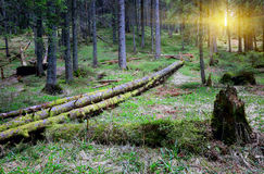 Old woods in deep forest Stock Photos