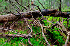Old Woods In Deep Forest Royalty Free Stock Photos