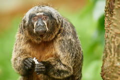 Old Woolly monkey. The woolly monkeys are the genus Lagothrix of New World monkeys, usually placed in the family Atelidae Royalty Free Stock Images