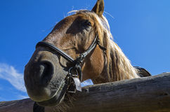 Old workhorse. Portrait of an old work horse on a background of blue sky Royalty Free Stock Image