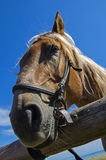 Old workhorse. Portrait of an old work horse on a background of blue sky Stock Photo