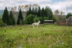 The old working white horse is grazing in a meadow. Village of Parnaya in the autumn. The old working white horse is grazing in a meadow. Krasnoyarsk Territory Stock Image