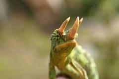 Old world chameleon. Male Jackson Chameleon (Chamaeleo jacksonii xantholophus) shows off its 3 horns stock photos