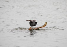 Old world Coot sitting on a branch in sea with wings Stock Photos