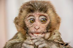 Old World monkey rhesus macaque. The rhesus macaque is brown or grey in color and has a pink face, which is bereft of fur. Its tail is of medium length. This was Royalty Free Stock Images