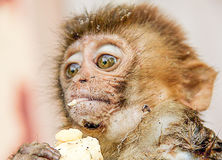 Old World monkey rhesus macaque. The rhesus macaque is brown or grey in color and has a pink face, which is bereft of fur. Its tail is of medium length. This was Stock Photography