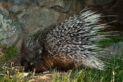Old World Porcupine. (Hystrix) from the Hystricidae family Royalty Free Stock Images