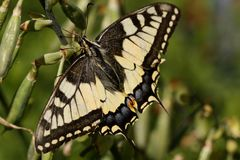 Old world swallowtail Royalty Free Stock Photos