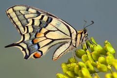 Old World Swallowtail Butterfly Royalty Free Stock Photography
