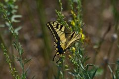Old World Swallowtail Butterfly. Butterfly (Old World Swallowtail - Papilio machaon Royalty Free Stock Images