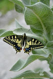 Old World Swallowtail Stock Photography