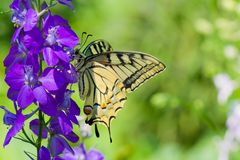 Old World Swallowtail butterfly on a blue flower Stock Photo