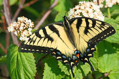 Old World Swallowtail Butterfly Stock Image