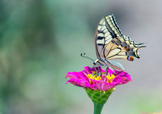 Old World Swallowtail butterfly Stock Photo