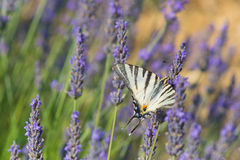 Old World swallowtail butterfly on Lavender Stock Photos