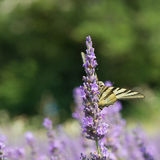 Old World swallowtail butterfly on Lavender Stock Image