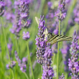 Old World swallowtail butterfly on Lavender Royalty Free Stock Image