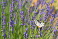 Old World swallowtail butterfly on Lavender Stock Photo