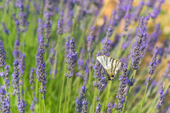 Old World swallowtail butterfly on Lavender Royalty Free Stock Photo