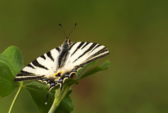 Old World Swallowtail butterfly Royalty Free Stock Image