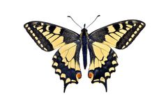 Old world swallowtail butterfly Papilio Machaon, isolated on w Stock Photos