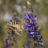 Old World Swallowtail butterfly Stock Photography