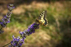 Old World swallowtail butterfly sitting on a lavender flower. On a sunny summer day stock photos