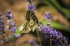 Old World swallowtail butterfly sitting on a lavender flower. On a sunny summer day royalty free stock images