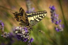 Old World swallowtail butterfly sitting on a lavender flower. On a sunny summer day royalty free stock image
