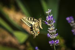 Old World swallowtail butterfly sitting on a lavender flower. On a sunny summer day stock photo