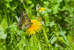 Old World Swallowtail butterfly sucking dandelion nectar Stock Images