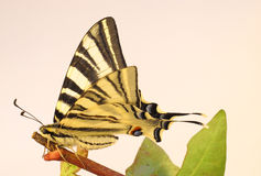 Old World Swallowtail Butterfly on a twig Royalty Free Stock Photos