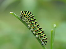Old World Swallowtail caterpillar Stock Images