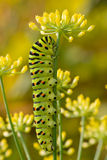 Old World Swallowtail caterpillar stock image