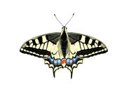 Old World Swallowtail. Digital illustration of a Old World Swallowtail Stock Images
