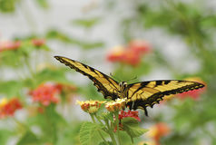 Old World swallowtail on flower. An old world swallowtail butterfly on a flower in the garden royalty free stock photo