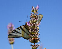 Old World Swallowtail on lavender Stock Images