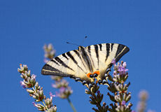 Old World Swallowtail on lavender flowers Stock Image
