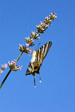 Old World Swallowtail on lavender flowers Stock Images