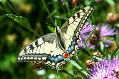 Old World Swallowtail Royalty Free Stock Photography