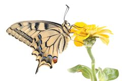 Old World Swallowtail Papilio machaon butterfly perched on a flower Zinnia Stock Images