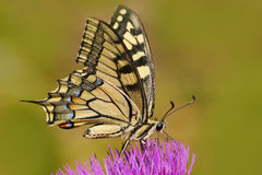 Old World swallowtail, Papilio machaon, butterfly sitting on the pink flower in the nature. Summer scene from the meadow. royalty free stock images
