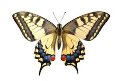 Old World Swallowtail Papilio machaon butterfly royalty free stock photography